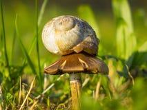 Foto perfecta de un caracol que vive en una seta Fotografía de archivo libre de regalías