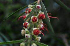 Foto piangente del fiore rosso della spazzola di bottiglia macro fotografia stock libera da diritti