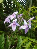 Foto porpora del fiore delle foto dolci della Sri Lanka x fotografie stock libere da diritti