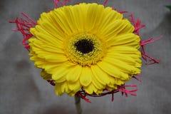 A foto próxima de flores amarelas do gerber Imagens de Stock
