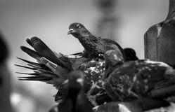 Foto preto e branco artística com os pombos em Veneza Imagem de Stock