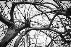 Foto preto e branco da árvore inoperante do inverno Fotos de Stock Royalty Free