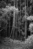 Foto preto e branco da floresta de bambu fotos de stock