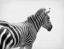 Foto preto e branco da zebra Imagens de Stock