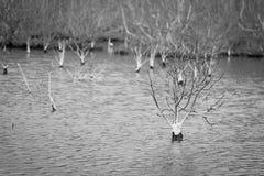 Foto preto e branco de árvores inoperantes no lago inundado para um fundo Phetchaburi, Tailândia Fotografia de Stock