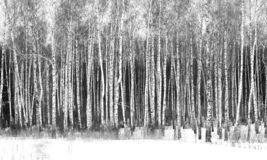 Foto preto e branco de vidoeiros preto e branco fotografia de stock