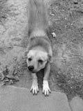 Foto preto e branco muito preguiçosa de meu cão preguiçoso e cansado foto de stock royalty free