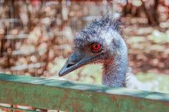 Foto principal de la avestruz Fotos de archivo