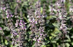 Purple blossoming basil on the garden in the sunny afternoon royalty free stock images