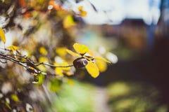 Foto que descreve uma vista macro das folhas amarelas e marrons brilhantes secas na refeição matinal da árvore Fotografia de Stock