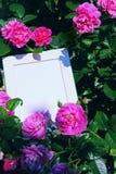 Foto-Rahmen-Rosa Rose Summer Garden Stockfotos