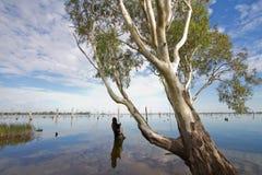 Albero di gomma nel lago Mulwala, Australia Fotografie Stock