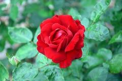 Foto roja de Rose Rosa Home Gardening Planting Stock fotos de archivo