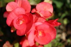 Foto roja floreciente del primer de la begonia Fotografía de archivo