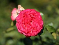 Foto Rosa adorabile Fotografia Stock Libera da Diritti