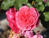 Foto Rosa adorabile Immagine Stock Libera da Diritti