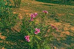 Foto rosa del cespuglio del fiore con una tonalità verde fotografia stock libera da diritti