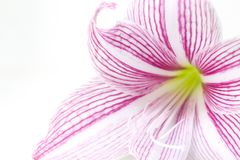 Foto rosada apacible del primer de la flor del lirio Plantilla femenina floral de la bandera Foto de archivo libre de regalías