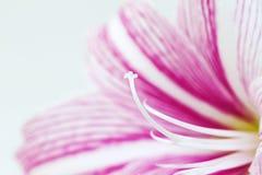 Foto rosada blanca de la macro de la flor del lirio Plantilla femenina floral de la bandera con el lugar del texto Fotografía de archivo libre de regalías