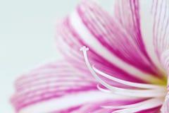 Foto rosada blanca del primer de la flor del lirio Plantilla femenina floral de la bandera Fotografía de archivo