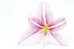 Foto rosada blanca del primer de la flor del lirio Plantilla femenina floral de la bandera Foto de archivo libre de regalías