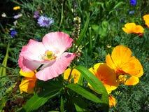 Foto rosada de la flor de la amapola fotografía de archivo