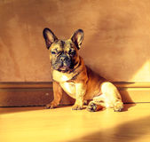 Foto rustica del bulldog francese Fotografia Stock Libera da Diritti