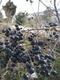 Foto's van verschillende plaatsen met bladstammen, met zwarte vruchten royalty-vrije stock foto