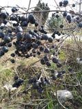 Foto's van verschillende plaatsen met bladstammen, met zwarte vruchten stock foto's