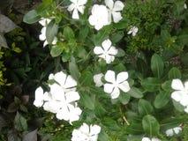Foto's van witte bloem stock afbeeldingen