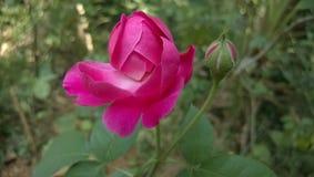 Foto sbalorditiva di una rosa Immagini Stock Libere da Diritti