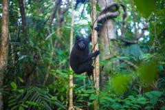 Foto-schwarzer Affe, der in einem Baum-Dschungel klettert Feld des grünen Grases gegen einen blauen Himmel mit wispy weißen Wolke Lizenzfreies Stockbild