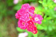 Foto simple de la aún-vida del brote de flor rojo Imágenes de archivo libres de regalías
