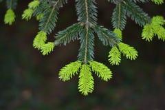 Foto simple de la aún-vida de la rama del pino Foto de archivo