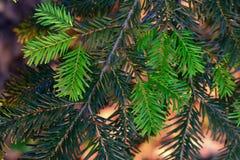 Foto simple de la aún-vida de la rama del pino Imagen de archivo