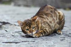 Foto smarrita di 2019 Cat Photographer la nuova, gatto marrone sveglio della via assomiglia ad una tigre fotografia stock