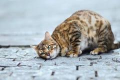 Foto smarrita di 2019 Cat Photographer la nuova, gatto marrone sveglio della via assomiglia ad una tigre fotografia stock libera da diritti