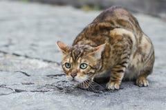 Foto smarrita di 2019 Cat Photographer la nuova, gatto marrone sveglio della via assomiglia ad una tigre immagine stock libera da diritti