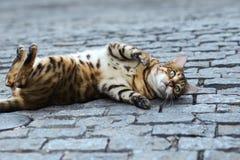 Foto smarrita di 2019 Cat Photographer la nuova, gatto marrone sveglio della via assomiglia ad una tigre immagini stock libere da diritti