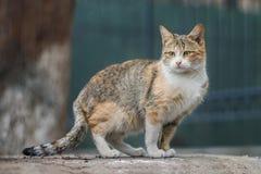 Foto smarrita di 2019 Cat Photographer la nuova, gatto marrone sveglio della via ha un fronte triste di grido fotografia stock libera da diritti