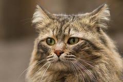 Foto smarrita di 2019 Cat Photographer nuova, gatti svegli della via con peli lunghi immagine stock libera da diritti