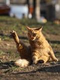 Foto smarrita di 2019 Cat Photographer nuova, gatti svegli della via del brwon con peli lunghi fotografia stock libera da diritti