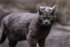 Foto smarrita di 2019 Cat Photographer nuova, gatto blu sveglio fotografia stock