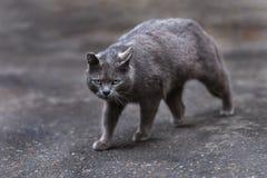Foto smarrita di 2019 Cat Photographer nuova, gatto blu sveglio fotografie stock