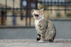 Foto smarrita di 2019 Cat Photographer nuova, sbadiglio marrone sveglio del gatto della via fotografie stock