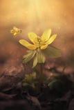 Foto soñadora de un acónito de invierno Imagen de archivo libre de regalías