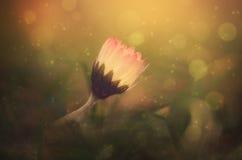 Foto soñadora de una flor de la margarita Imagen de archivo libre de regalías