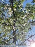 Foto som blommar tr?det V?ren blommar p? filialen fotografering för bildbyråer