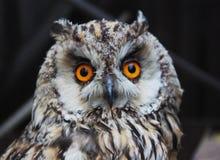 Foto som tas under ett besök av en zoo Europeiskt ugglahuvud royaltyfria bilder