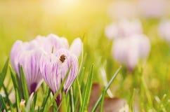 Foto suave de la flor del azafrán Fotos de archivo libres de regalías